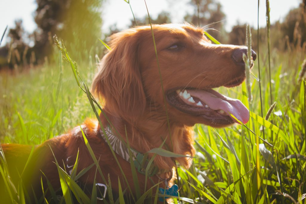 Dog in grass sabotages hay fever treatment